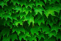 Wild grape green wall. Natural background royalty free stock photography
