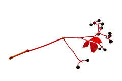 Wild grape  hieroglyph. The grapevine shank which looks like a hieroglyph Royalty Free Stock Images