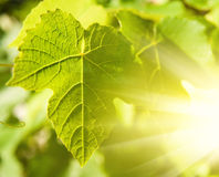 Wild grape leaf Royalty Free Stock Images