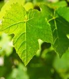 Wild Grape Leaf Royalty Free Stock Photos