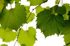 Wild grape leaves Royalty Free Stock Photos