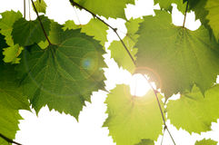 Wild grape leaves Royalty Free Stock Images