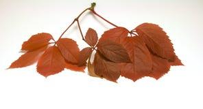 Wild grape leaves Royalty Free Stock Photo