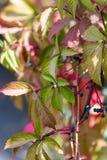 Wild grape leaves. Natural seasonal autumn background stock photography