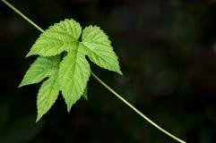 Wild grape leaves. Stock Image