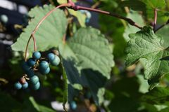Wild grape Stock Images