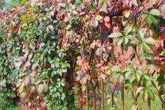 Wild grape in a park on autumn Stock Photo