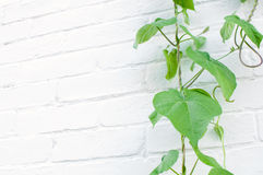 Wild grape plant climbing white wall Royalty Free Stock Photos