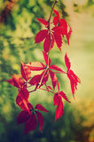 Wild grape red leaves Stock Photography