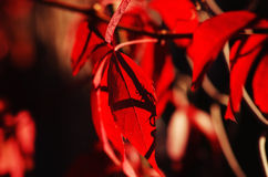 Wild grape red leaves Royalty Free Stock Photography