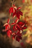 Wild grape red leaves Royalty Free Stock Photo