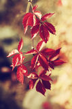 Wild grape red leaves Stock Photos