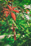 Wild grape red leaves Stock Images