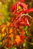 Wild grape red leaves Royalty Free Stock Images