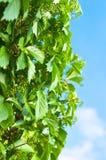 Wild grape vine Stock Photos