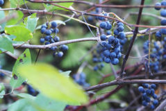 Wild Grape Vine Royalty Free Stock Photography