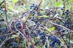 Wild Grape Vine Royalty Free Stock Photography