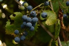 Wild Grape Vine. Closeup view of some wild grapes growing on a vine royalty free stock photo