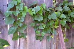 A Wild Grape Vine After Harvest stock images