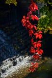 Wild grape vine. Red grape leaves. Stock Images