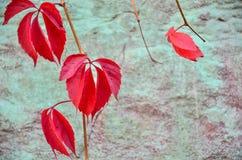 Wild grape vine. Red grape leaves. Stock Photo