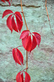 Wild grape vine. Red grape leaves. Stock Photography
