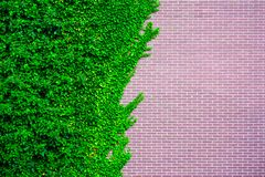 Wild grape on the wall of an old building. Garden Wild Grapes With Autumn Leaves On red Brick Wall royalty free stock photos
