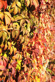 Wild grape on a wall Stock Photo