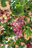 Wild grapes Stock Images