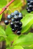 Wild grapes Stock Photo