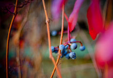 Wild grapes in autumn Stock Image