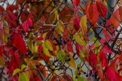 WILD grapes IN AUTUMN PILTAINED FENCE. Wild wingrad leaves in autumn. Autumn natural