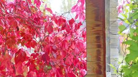 Wild grapes in autumn in the sun. In alcove stock footage