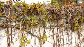 Wild grapes branches in the spring Royalty Free Stock Photos