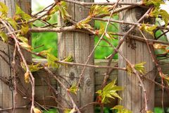 Wild grapes branches in spring as background Royalty Free Stock Images