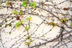 Wild grapes branches in the spring as background Royalty Free Stock Images