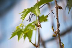 Wild grapes. Branches of wild grapes stock photos