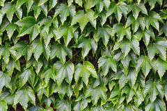 Wild grapes on a brick wall Stock Photos