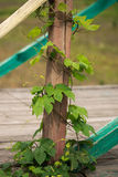 Wild grapes curl around wooden building details. Royalty Free Stock Image