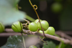 Wild grapes. The wild grape vine is truly a vining plant; this means it has no solid, upright trunk. This climbing, multi-stemmed vine can grow so well it can Stock Images