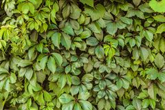 Wild grapes leaves background. Virginia creeper Parthenocissus Quinquefolia green foliage hedgerows. Large lush green leaves Royalty Free Stock Photo