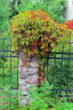 Wild grapes with leaves begins to redden on a stone fence post Royalty Free Stock Photo
