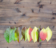 Wild grapes multicolored autumn leaves Stock Photography