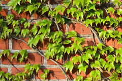 Wild grapes on the old brick wall Royalty Free Stock Photography