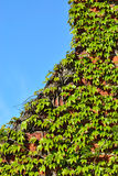 Wild grapes on the old brick wall Royalty Free Stock Image