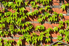 Wild grapes on the old brick wall Stock Images