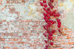 Wild grapes on old wall. Background old brick wall with wild grapes Royalty Free Stock Photo