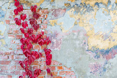 Wild grapes on old wall. Background texture old brick wall with remnants of varicoloured plasters and with wild grapes Royalty Free Stock Photos