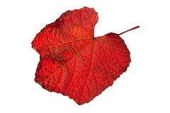 Wild grapes red leaf Royalty Free Stock Photos