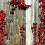 Wild grapes with red leaves on a wooden fence Royalty Free Stock Photography
